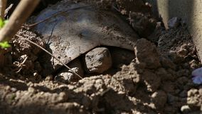 Land turtle emerging from hibernation. Land turtle ready to come out from the ground after hibernation stock video footage