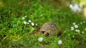 The land turtle in the grass. In Milocer park, near the island o. F Sveti Stefan in Montenegro stock footage