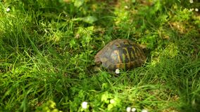 The land turtle in the grass. In Milocer park, near the island o stock video footage