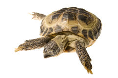 Land turtle isolated on white Stock Photos