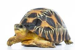 Land turtle. Isolated on white Stock Photos