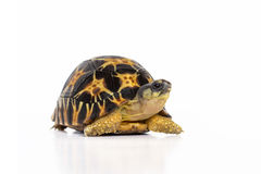 Land turtle Royalty Free Stock Image