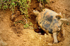 Land turtle laying eggs Royalty Free Stock Images