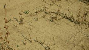 Land van het droogte verlaat het droge gebied met papaver Papaver poppyhead, opdrogend gebarsten grond die, de gebarsten grond op stock videobeelden