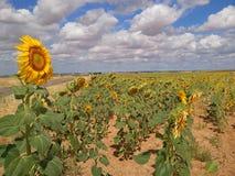 land van zonnebloemen Stock Foto