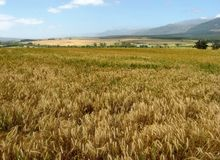 Land of wheat. Agricultural land at Artois near Tulbagh in the rural Western cape SA Royalty Free Stock Photo