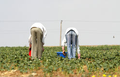Land workers. Two  land workers collect vegetables in a field Royalty Free Stock Photography