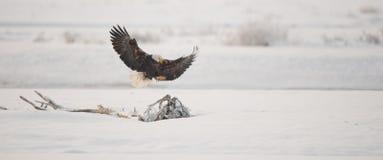 Landa den skalliga örnen Arkivfoton