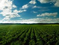 Landacape of potato plantation royalty free stock images