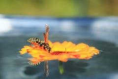 Landade den randiga getingen för krypet på blomman i trädgården som svävar på vatten och dricker från det royaltyfri bild