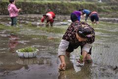 Landarbeit, asiatischer Frauenreissämling, der in ru verpflanzt Lizenzfreie Stockbilder
