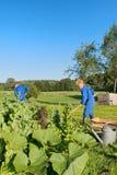 Landarbeiter, die im Gemüsegarten helfen Stockfotografie
