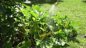 Landarbeiterhände mit Bewässerungszucchinigemüseanlagen des Gießkannewerkzeugs 4K stock footage