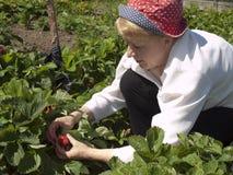 Landbemühungen. Die Frau montiert eine Erdbeere. Stockbild
