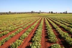 Landbouw, de Rijen van het Gebied van de Pinda Royalty-vrije Stock Fotografie