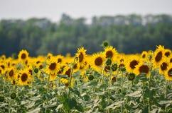 Landbouw Gebied van Sunflowers Stock Afbeeldingen
