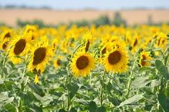 Landbouw Gebied van Sunflowers Stock Foto