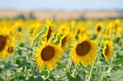 Landbouw Gebied van Sunflowers Stock Afbeelding