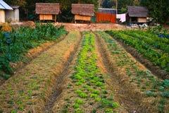 Landbouw, landbouwbedrijf, rijst, Thaise landbouwers Stock Foto's