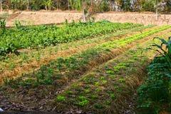 Landbouw, landbouwbedrijf, rijst, Thaise landbouwers Royalty-vrije Stock Afbeeldingen
