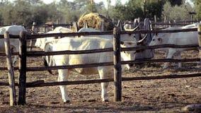 Landbouw, landbouwgrond, koeien stock footage