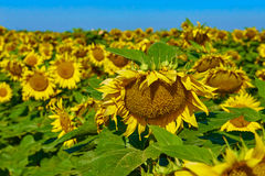 Landbouw landschap Gebied van mooie rijpe zonnebloemen Stock Afbeeldingen