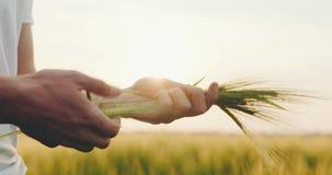 Landbouw - Mensen` s hand wat betreft tarwe stock video