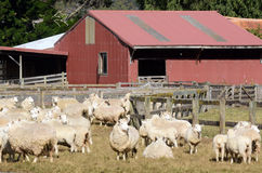 Landbouw in Nieuw Zeeland NZ NZL Royalty-vrije Stock Fotografie