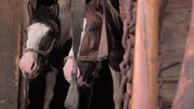 Landbouw Paarden in stal Mooie paarden die op gras, haver wachten Twee paarden die rust in oude houten stal nemen stock videobeelden