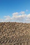 Landbouw, suikerbiet, wortel het oogsten op gebied Stock Foto's
