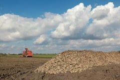Landbouw, suikerbiet, wortel het oogsten op gebied Stock Afbeelding