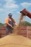 Landbouw, tarwe het oogsten royalty-vrije stock afbeeldingen