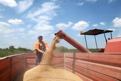 Landbouw, tarwe het oogsten stock foto