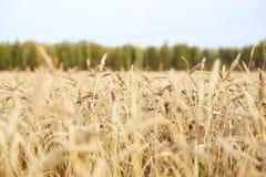 Landbouw, tarwe, rogge stock fotografie
