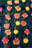 Landbouw van minicactus Royalty-vrije Stock Afbeelding