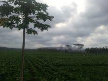 Landbouw van sojaboon stock foto's