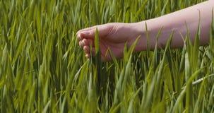Landbouw, vrouwenhand wat betreft tarwegewassen bij landbouwbedrijf stock videobeelden