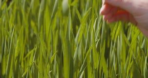 Landbouw, vrouwenhand wat betreft tarwegewassen bij landbouwbedrijf stock footage
