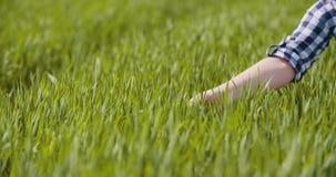 Landbouw, vrouwenhand wat betreft tarwegewassen bij landbouwbedrijf stock video