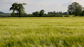 Landbouw - Wind - Gewas van Gerst stock videobeelden