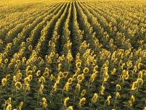Landbouw zonnebloemen. stock afbeelding
