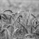 Landbouwachtergrond van oren van tarwe Stock Fotografie