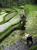 Landbouwarbeider op het padieveld Stock Foto's