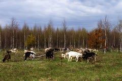 Landbouwbedrijf, een kudde van geiten die in een weide weiden royalty-vrije stock foto's