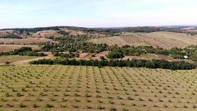 Landbouwbedrijf, gebieden van okkernootaanplantingen rijen van gezonde okkernootbomen in een landelijke aanplanting met rijpende  stock video