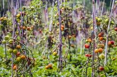 Landbouwbedrijf het groeien tomaten, tomaten op de installatie part3 royalty-vrije stock foto's