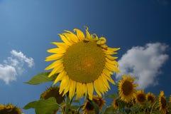 Landbouwbedrijf I van de zonnebloem Stock Foto's