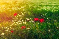 Landbouwbedrijf met gebied van organische bloemen zoals papavers en kamille stock foto's