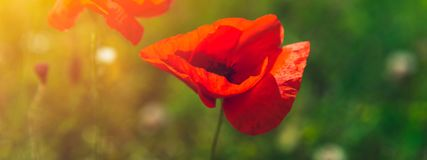 Landbouwbedrijf met gebied van organische bloemen zoals papavers en kamille royalty-vrije stock foto