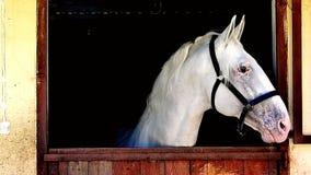 Landbouwbedrijf van het paard het witte portret stock video